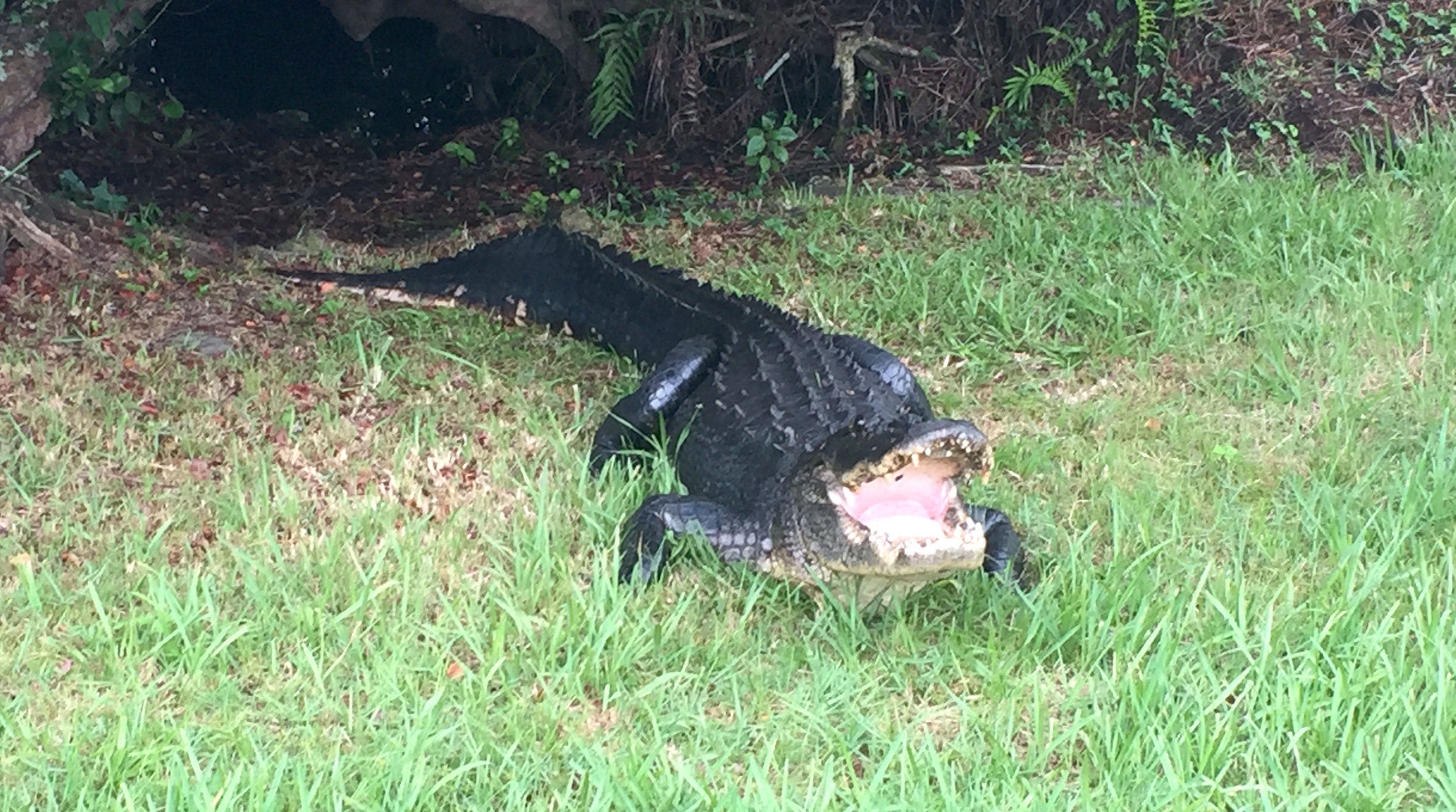 Alligator-on-Private-Everglades-Tour