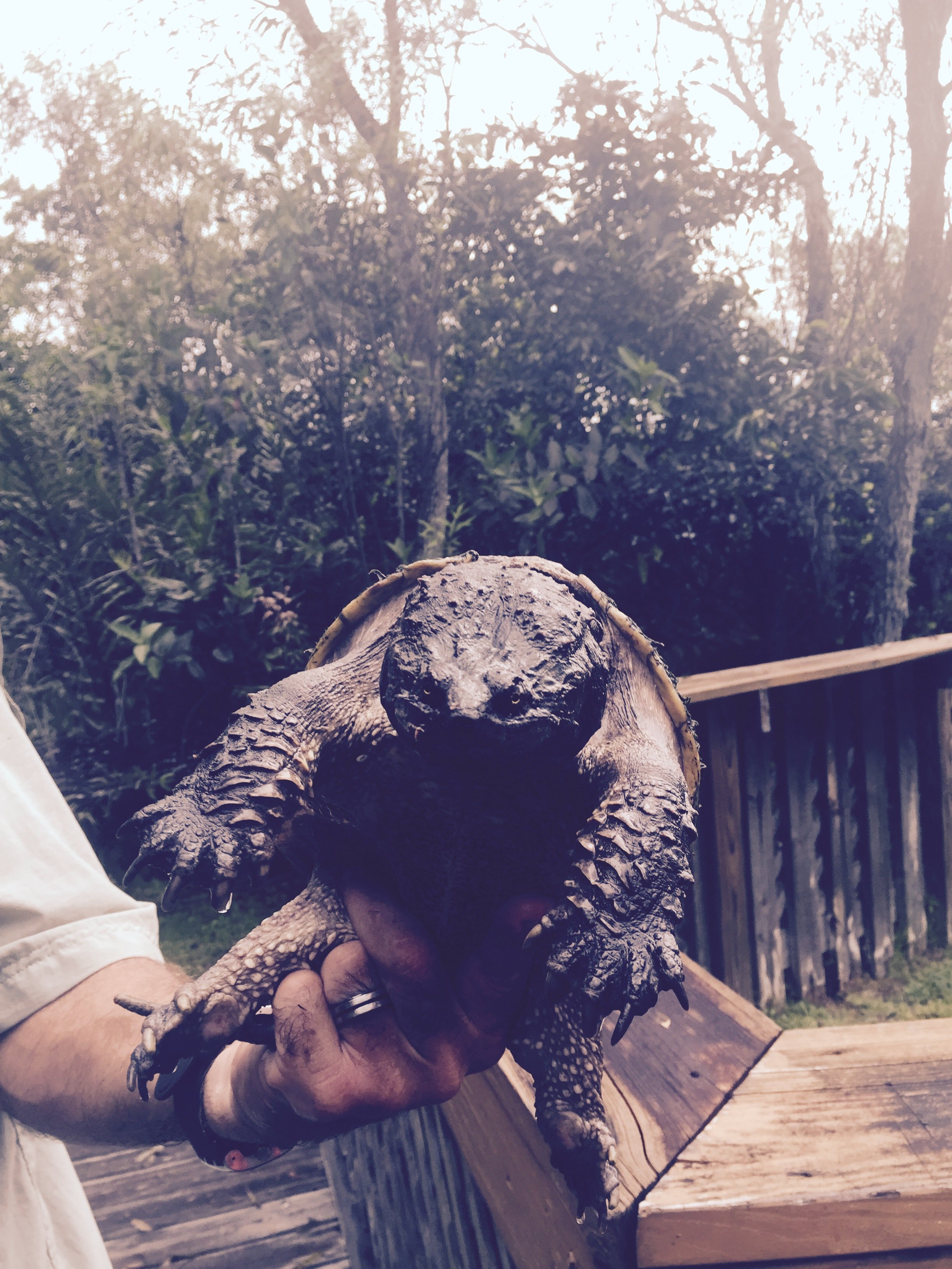 Snapping-turtle-on-Private-Everglades-Tour
